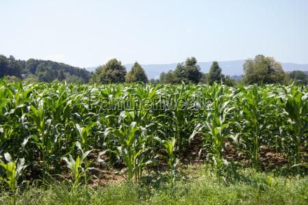 corn field in summer on the