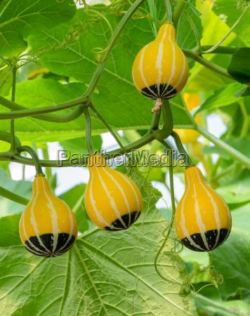 ornamental gourd or pumpkin on its