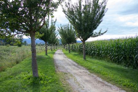 gravel road between a tree avenue