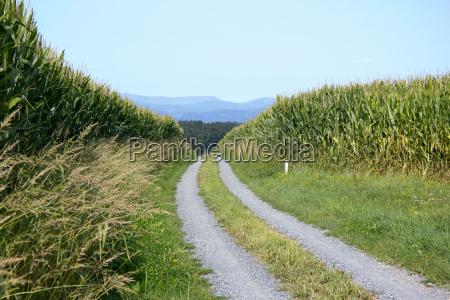 gravel road between corn fields in
