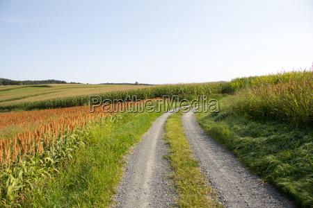 dirt road between corn fields in