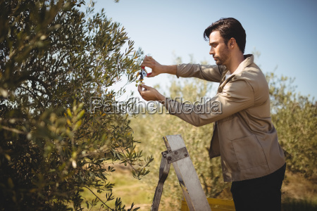 man cutting olives on sunny day