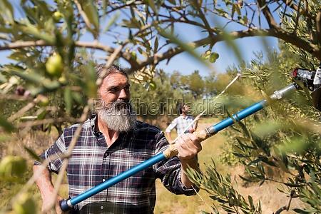 man using olive picking tool while