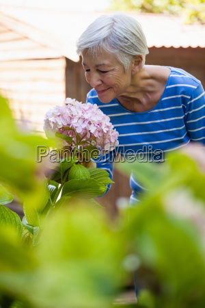 smiling senior woman smelling pink hydrangea