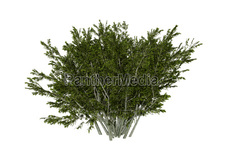 3d rendering creosote bush on white