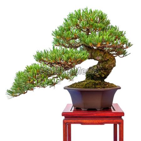 coniferous pine tree pinus parviflora as