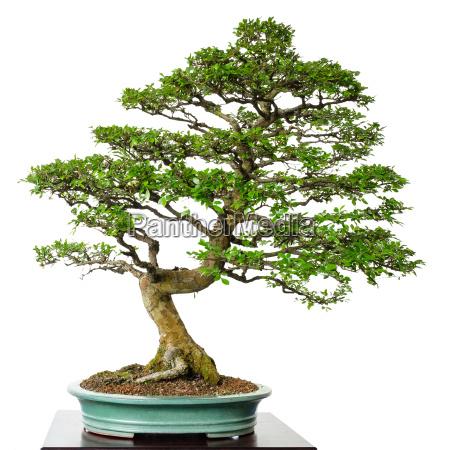 old deciduous elm ulmus parvifolia as