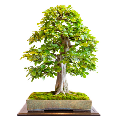 old hornbeam as a bonsai tree