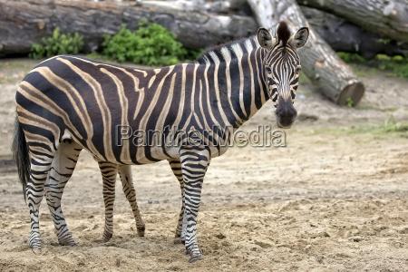 zebra in a clearing