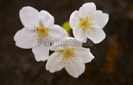 close up of white japanese cherry