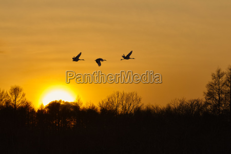 silhouette of three red crowned cranes