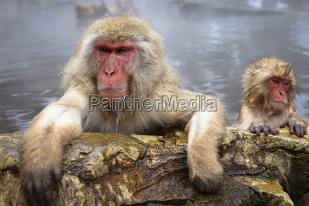 two japanese macaque snow monkey macaca