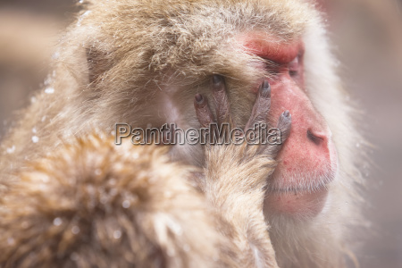 close up of japanese macaque snow