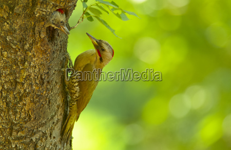 close up of japanese green woodpecker