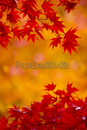 branches of a japanese maple tree