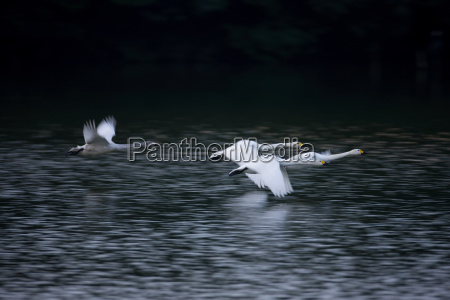 four swans flying close to the