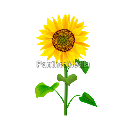 sunflower flower or helianthus isolated with