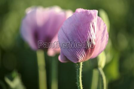 lilac poppy flowers