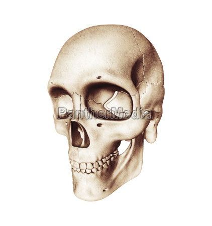 three quarter view of human skull