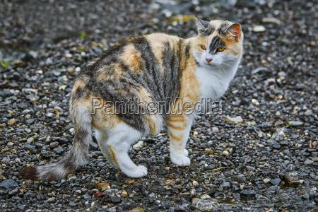 domestic, cat, on, road - 23257257
