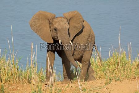 african elephant in natural habitat