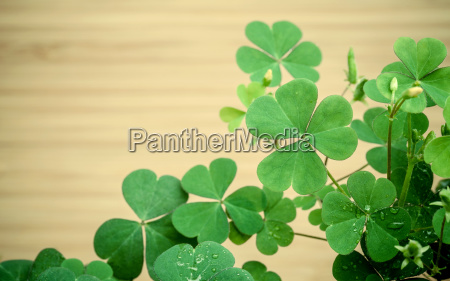 close up clovers leaves for background