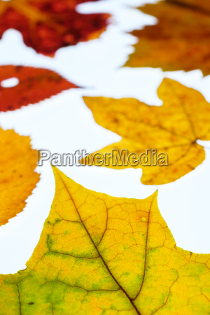vine leaf and maple leaves in