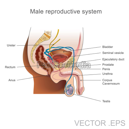 the male reproductive system consists of