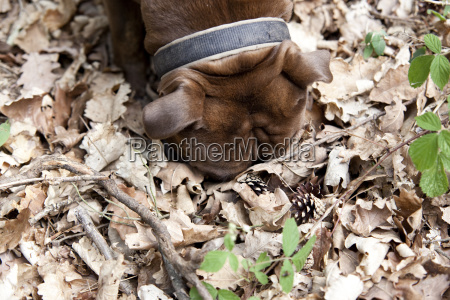 olde english bulldogge in forest sniffing