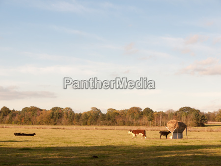 beautiful brown and black cows on