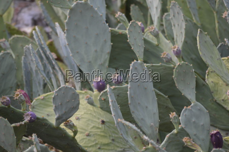 cactus opuntia pear prickly fig background
