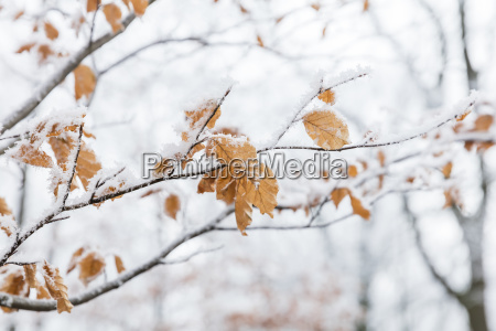 snowy branches and leaves