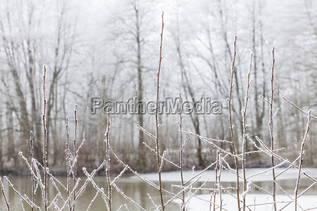 snowy branches in front of a