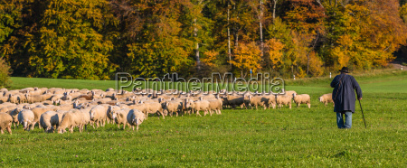 sheep in autumn on the alb