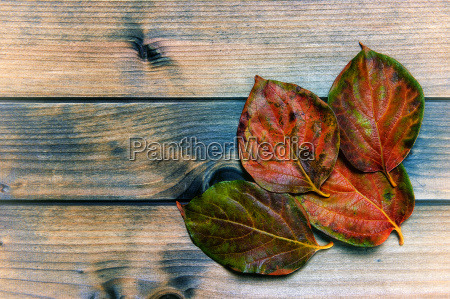 autumnal persimmon leaves on an antique