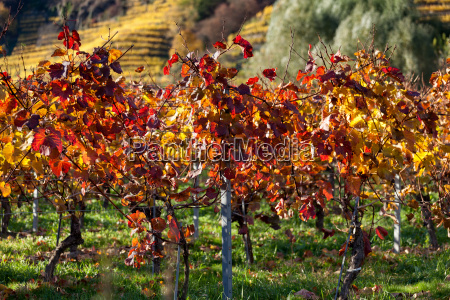 autumnally discolored grape vines