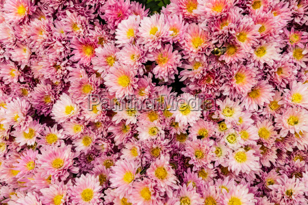 pink mum flowers with yellow centers