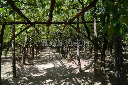 sorrento lemon trees with fruit