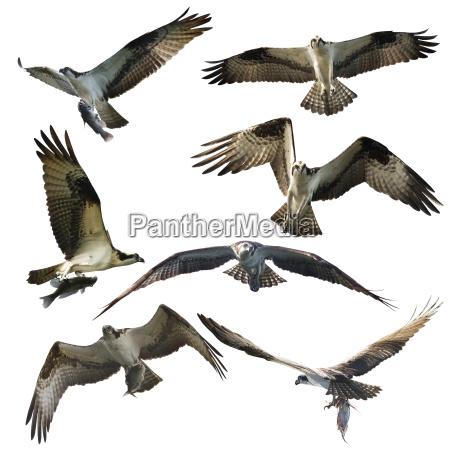 osprey eagles on white background