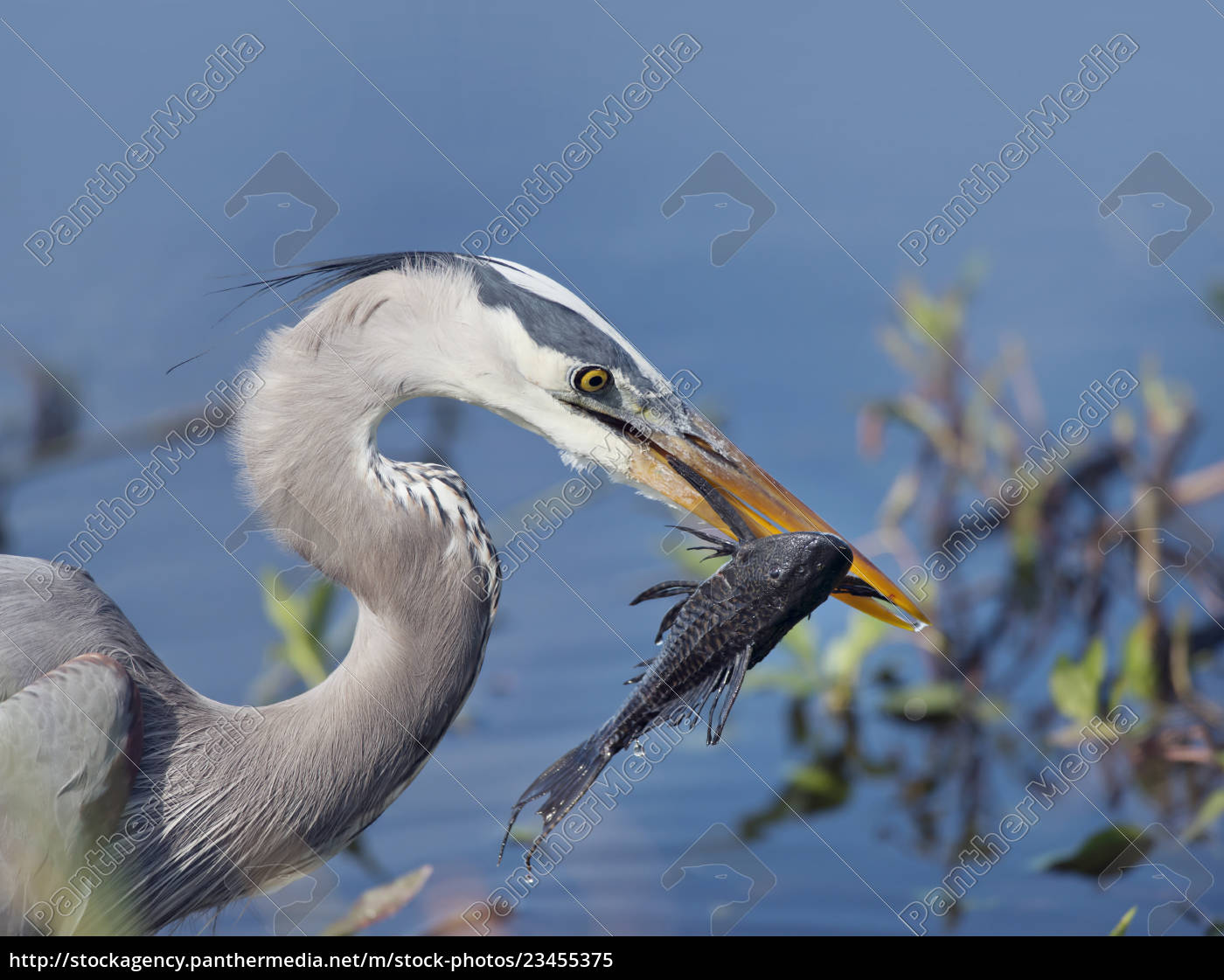 great, blue, heron, with, a, fish - 23455375