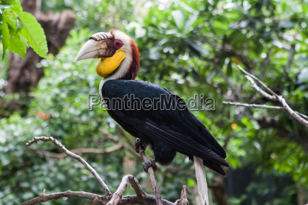 wreathed hornbill an exotic bird in