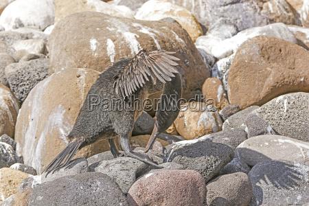 flightless cormorant preening on a rocky