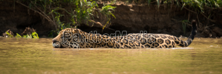 jaguar wading through muddy river beside