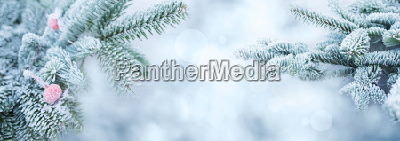 fir branches in winter with a