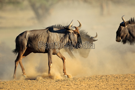blue wildebeest in dust