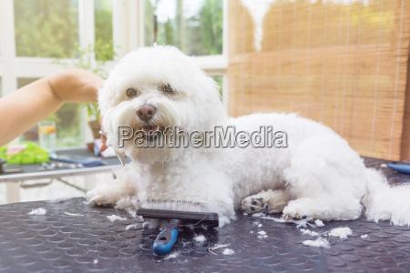 cute white bolognese dog is groomed