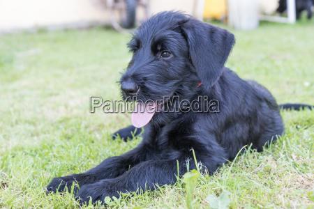 puppy of giant black schnauzer dog