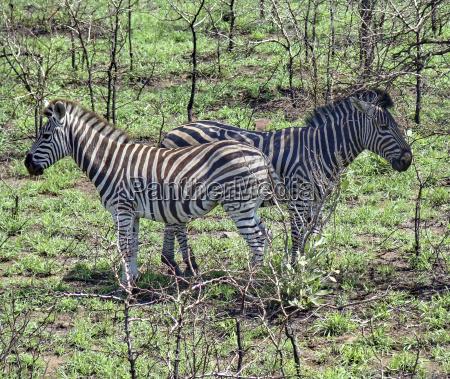 two zebra looking in the opposite