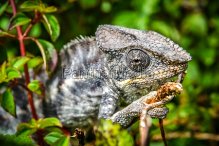 small grey chameleon