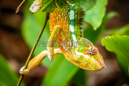 small colourful chameleon